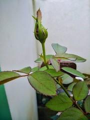Rose (Phoenix Ramesh) Tags: flowers flora green nature art buds tree plant pleasant beautiful