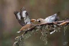 Grosbec casse-noyaux (Tifaeris) Tags: ariège coccothraustescoccothraustes domainedesoiseaux fringillidés grosbeccassenoyaux hawfinch mazères passériformes bird oiseau