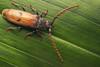 Gigantotrichoderes flabellicornis (andre de kesel) Tags: gigantotrichoderesflabellicornis coleoptera cerambycidae sonya7rm2 canonef100mm128lisusm zerenestacker focusstack studio metaboneseftosonye