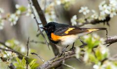 IMG_0262  American Redstart_warbler (ashahmtl) Tags: americanredstart warbler songbird setophagaruticilla longpointprovincialpark norfolkcounty ontario canada