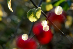 translucent (nelesch14) Tags: macro light sunshine red berry bokeh blur leaves green nature glow translucent