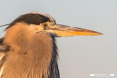 GBH Portrait (freshairphoto) Tags: wading bird great blue heron gbh portrait sunrise huntington beach state park myrtle south carolina artspearing nikon d500 200500 zoom handheld