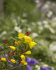Miniature yellow petals burst from blood red buds in rainy summer garden (Rod Raglin) Tags: buds yellow bloodred flower garden summer bloom wildflower delicate natural floral colorful petals plant outdoor season fresh beautiful cluster