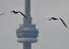 Toronto Bound (Hanzy2012) Tags: nikon d500 afsnikkor500mmf4difedii toronto ontario wildlife bird swan muteswan cygnusolor cntower canada