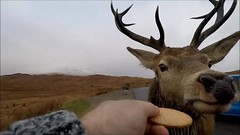 A Stag who loves biscuits (andrewmckie) Tags: rannochmoor reddeer stag scotland scottishwildlife