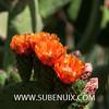 Opuntia elatior-6 (SUBENUIX) Tags: cactaceaeopuntias opuntiaelatior suculentas subenuix subenuixcom planta suculent suculenta botanic botanical