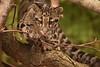 Clouded Leopard Cub (Rackelh) Tags: animal baby babyanimal mammal cat bigcat zoo toronto canada