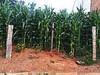 (polianaamaral) Tags: milho de pé arame cerca terra pedras plantas gerais minas campanha
