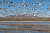 IMG_8106 (www.nightfocus.info) Tags: blast off snow goose bosque del apache chen caerulescens mountain cold flight