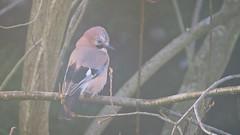 Jay (Garrulus glandarius) (jhureley1977) Tags: jay garrulusglandarius birds birding birdsofbritain britishbirds ashjhureley avibase naturesvoice bbcspringwatch rspbbirders ashutoshjhureley hemelbirding hemelhempstead