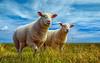 Wir Zwei (eislori) Tags: elements schafe tier gras landschaft himmel feld ostfriesland deich