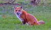 What are you all staring at, haven't you ever seen a fox eating lunch before? says Mr the Fox! (anniebevilacqua) Tags: animal renard fox redfox renardroux montrealwildlife faunemontréal montréal québec vulpesvulpes fall
