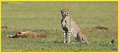 Vulnerable CHEETAHS - [ Masai Mara, Kenya ] (tinyfishy's World Birds-In-Flight) Tags: cheetahs masai mara kenya africa