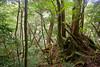 (Erik B) Tags: japan kyushu yakushima trees tree yakusugiland yakusugi forest cedar cedars