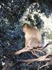 Macaque in tree, swollen backside, Monkey Park near Azrou, Morocco (Paul McClure DC) Tags: azrou ifraneprovince morocco maroc almaghrib jan2017 middleatlas fèsmeknèsregion animals ape monkey macaque