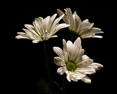 White Daisy Trio 1210 (Tjerger) Tags: nature beautiful beauty black blackbackground bloom blooming blooms closeup daisies daisy fall flora floral flower flowers green macro plant portait three trio white wisconsin natural