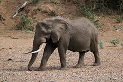 Loxodonta africana ♂ (African Elephant) - named Tusker -Timhaka - South Africa (Nick Dean1) Tags: loxodontaafricana elephant africanelephant mammalia mammal chordata krugernationalpark southafrica timhaka