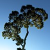 Twilight Gum (Padmacara) Tags: australia crawley g11 tree gumtree eucalyptus sky twilight evening outdoor square