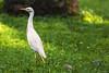 UNA EGRETTA    ----    A EGRET (Ezio Donati is ) Tags: natura nature animali animals uccelli birds aironi herond foresta forest erba grass africa costadavorio areabigenrville