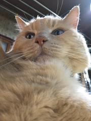Norio from Below (sjrankin) Tags: 10december2017 edited animal cat norio closeup table kitchen backlighting yubari hokkaido japan