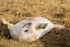 Life's been good (Eat, Sleep, Play) (DavidHowarthUK) Tags: greyseal donnanook lincolnshire lincolnshirewildlifetrust november 2017 halichoerusgrypus lifesbeengood eatsleepplay laidback pup