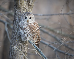 RSF5161 (jacksonfrontierphotography) Tags: barred owl missouri