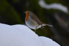 Pettirosso (kyry2010) Tags: pettirosso robin uccello uccellino bird vogel oiseau animal inverno winter birdwatching
