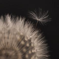 Softly as I Leave You (SkyeWeasel) Tags: macromondays litbycandlelight macro dandelion seed seedhead dispersal ngc smileonsaturday lightopia