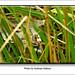 Andreas Kalbow Waldeidechse Lacerta vivipara 2015 Fischland Darß (8)
