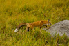 On a mission (ChicagoBob46) Tags: redfox fox vixen yellowstone yellowstonenationalpark nature wildlife coth5 ngc npc