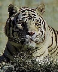 TIGRE BLANCO (blanferblanc) Tags: blanco tigre zoo