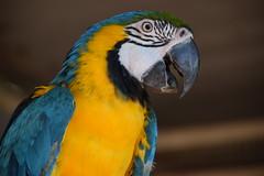 Macaw !! (Anmol:-)) Tags: macaw suryashibir nikond5300 tamron18200mm panchet