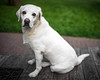 London (Fret Spider) Tags: dog canine animal fur lab labrador retriever friend best portrait pose eyes love manuallens leicasummilux35mmf14fle bokeh bokehdelicious dof depthoffield oof outoffocus outside party barbeque asph sonya7ii backyard goodtimes