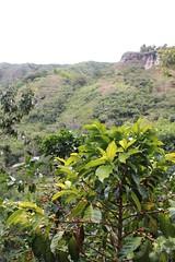 Coffee Plant (raikbeuchler) Tags: colombia precolombian tierradientro unescoweltkulturerbe unesco unescoworldheritagesite valledecauca tribes archäologie archeology 2017