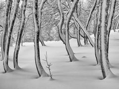 Little one (Fjällkantsbon) Tags: doroteakommun landskapstyper sverige fjäll december borgafjäll lappland evamårtensson västerbottenslän se bw mono fjällbjörk mountainbirch midwinter midvinter lapland