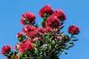 20171220_1339_7D2-140 Pohutukawa flowers (johnstewartnz) Tags: metrosiderosexcelsa pohutukawa red tree flower flowers newzealandchristmastree 70200mm 70200 70200f28 newbrighton 7d2 7dmarkii 7d canon7dmarkii canoneos7dmkii canoneos7dmarkii 7dwf
