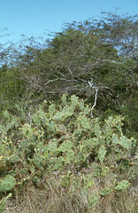 Opuntia and legumes, Matthewtown, Inagua (Mary Gillham Archive Project) Tags: 1979 781122 april1979may1979 inagua opuntia planttree thebahamas