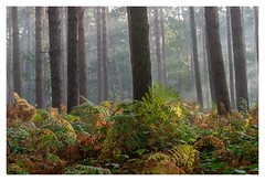 The colors of the Hallerbos (P_Hibon) Tags: bos hallerbos mist ochtend varens forest morning herfst autumn kleuren colors belgie belgium nobluebells halle bomen trees ferns