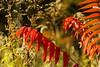 Sumac in the Sun (andrickthistlebottom) Tags: tree shrub sumac autumn plant sunlight warm