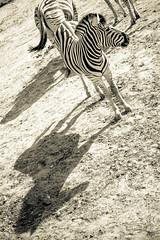 Photo of Zebra & Shadow