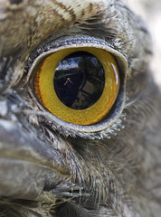 Close up (Bill Collison) Tags: tawney frogmouth