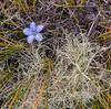 171216 112646 (friiskiwi) Tags: 1670m 5500feet walenbergiaalbomarginata atthetop awaterevalley marlborough newzealand nz