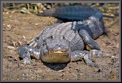 How big a boy are ya' (WanaM3) Tags: wanam3 nikon d7100 nikond7100 texas pasadena clearlakecity horsepenbayou bayou outdoors nature wildlife canoeing paddling animal reptile lizard gator alligator alligatormississippiensis