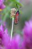 Zygaenidae (Christian Birzer) Tags: sitzen insekt blüte blume tier natur makro grün wiese lila unschärfe fühler draussen gras nahaufnahme schmetterling naturschutz widderchen flügel beilfleckwidderchen sommer unscharferhintergrund