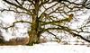 Sulzeiche (Sascha Wolf) Tags: sulzeiche baum eiche winter mächtig schönbuch weitwinkel winterlandschaft