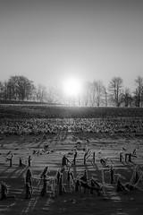 Peace on earth... (Phila Broich) Tags: sunrise sunset black white corn field rural farm shadows peace calm country silhouttes winter snow