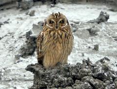 Hiboux des marais, Short-eared Owl   DSC_4428 (Pierre Casavant) Tags: asioflammeus hiboux owl oiseaux birds animal