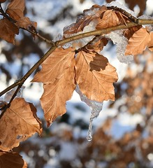 Icicle - Explore 1/1/2018 (MJ Harbey) Tags: leaves tree branch icicle ice snow nikon d3300 nikond3300 ashridgeestate nationaltrust ringshall hertfordshire