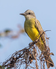 Tropical Kingbird (Tyrannus melancholicus) (NigelJE) Tags: tropicalkingbird kingbird tyrannusmelancholicus tyrannus tyrantflycatcher tyrannidae nigelje ixtapa zihuatanejo guerrero mexico