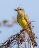 Tropical Kingbird (Tyrannus melancholicus) (NigelJE) Tags: tropicalkingbird kingbird tyrannusmelancholicus tyrannus tyrantflycatcher tyrannidae nigelje ixtapa zihuatanejo guerrero mexico